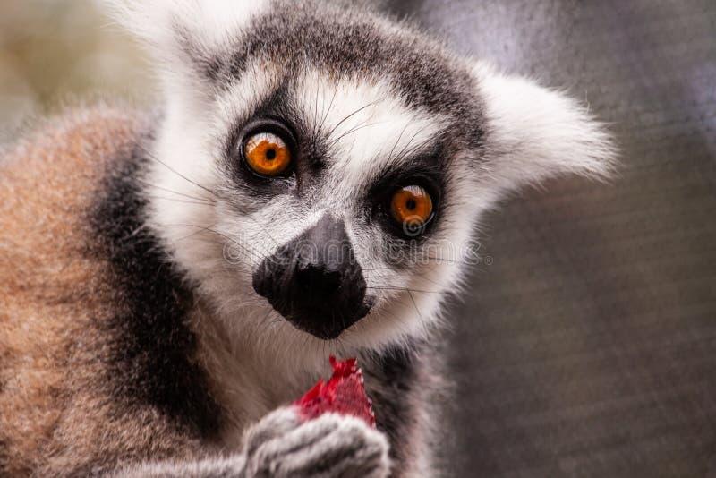 El primero plano de un lémur anillo-atado fotografía de archivo libre de regalías