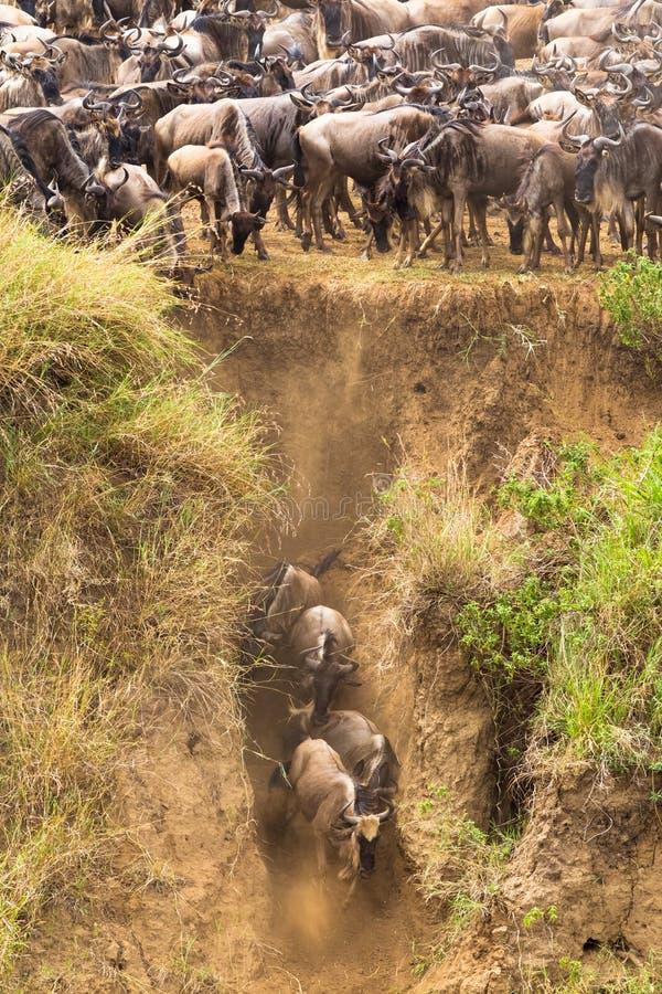 El principio de una gran migración Manadas del ñu en Mara River Kenia, África imagenes de archivo