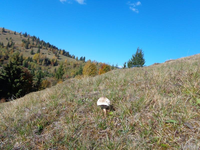 El procera delicioso de Macrolepiote de la seta de parasol en el sol del otoño fotos de archivo