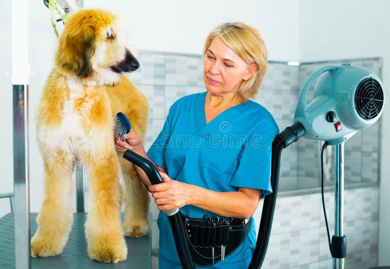 El profesional del peluquero el cabello seco por afgano de la piel del perro del pantano imagenes de archivo