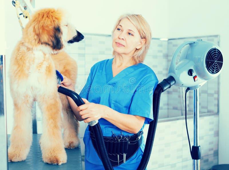 El profesional del peluquero el cabello seco por el perro de afgano de la piel del perro del pantano en el peluquero para el anim fotos de archivo