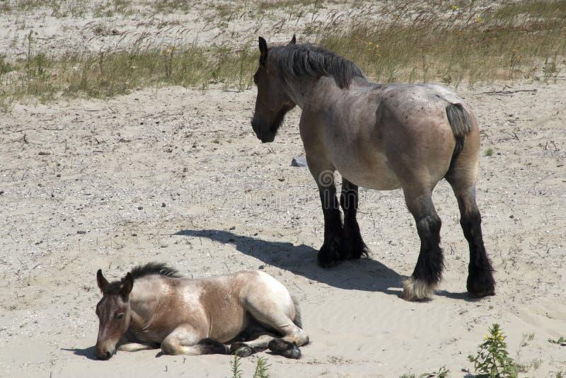 El proyecto holandés, es una raza holandesa del caballo de proyecto pesado fotos de archivo