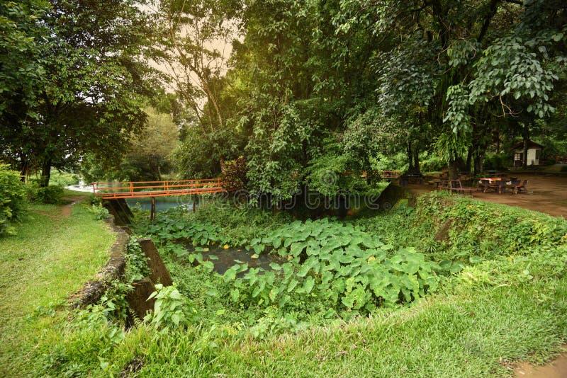 El puente y la planta verde del oído de elefante del caladium fotos de archivo