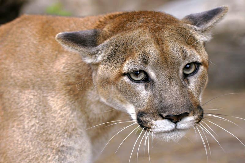 El puma observa, retrato del cierre del león de montaña para arriba fotos de archivo