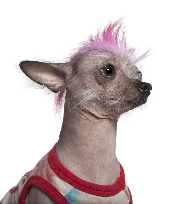 El punky vistió el perro sin pelo mexicano, 4 años fotografía de archivo