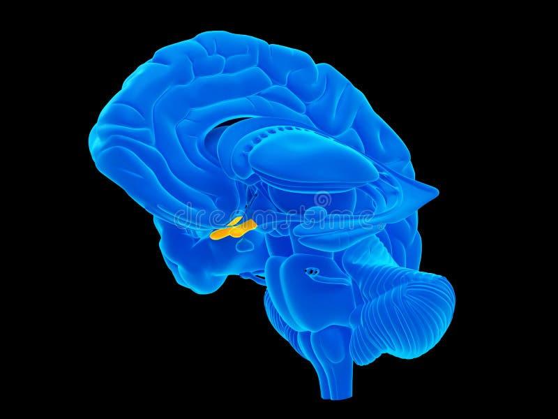 El quiasma óptico stock de ilustración. Ilustración de azul - 57843836