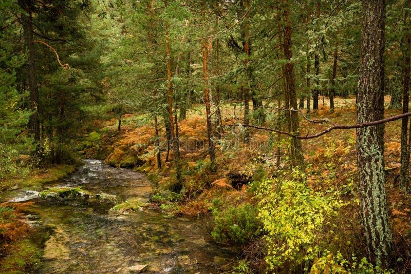 El río entre árboles de pino y los helechos en un otoño hermoso ajardinan foto de archivo