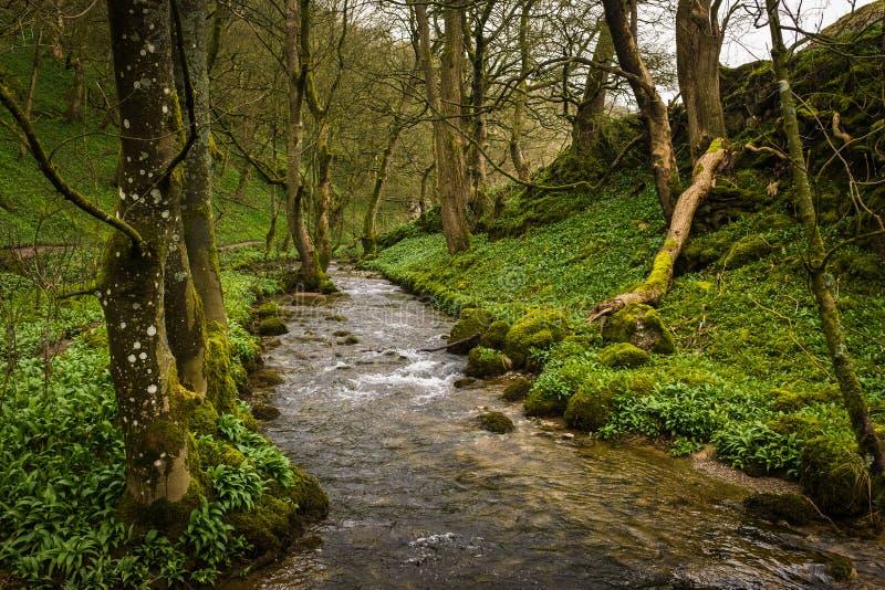 El r?o Aire lo teje es manera a trav?s de bosque verde enorme en Foss de Janet, Malham, West Yorkshire fotos de archivo libres de regalías