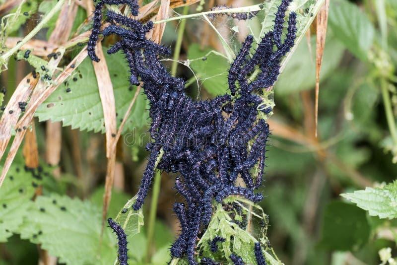El racimo de ortiga de voracidad del pavo real de la mariposa de las orugas se va imagenes de archivo