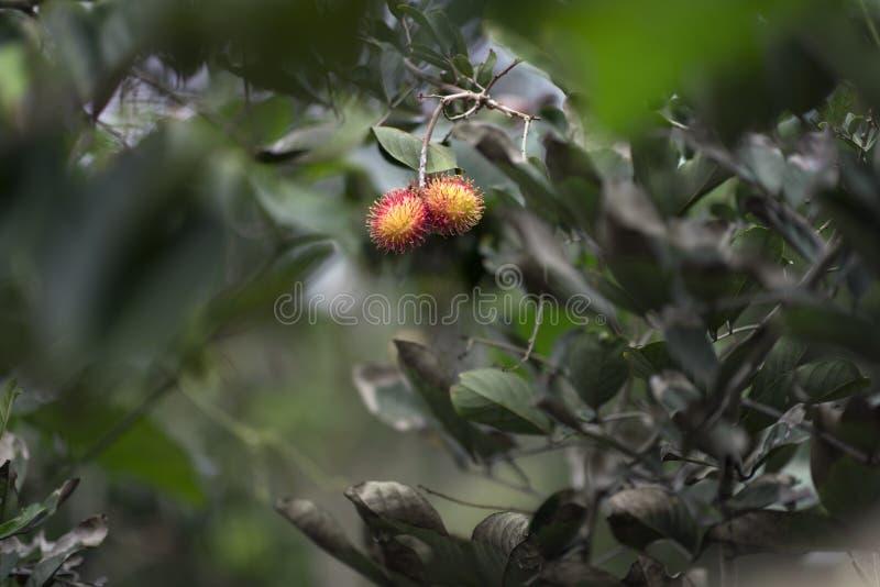 El Rambutan vietnamita es una fruta tropical Aquí un rambutan en un árbol en la selva del Mekong, Vietnam foto de archivo libre de regalías