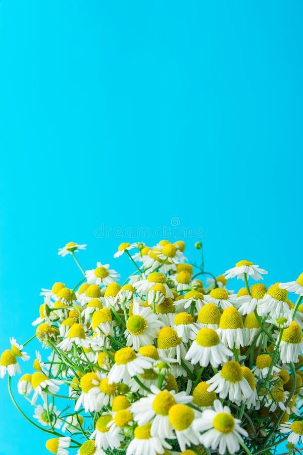 El ramo de flores alemanas salvajes recientemente escogidas de la manzanilla en luz acuña el fondo azul Belleza sana de la bebida foto de archivo