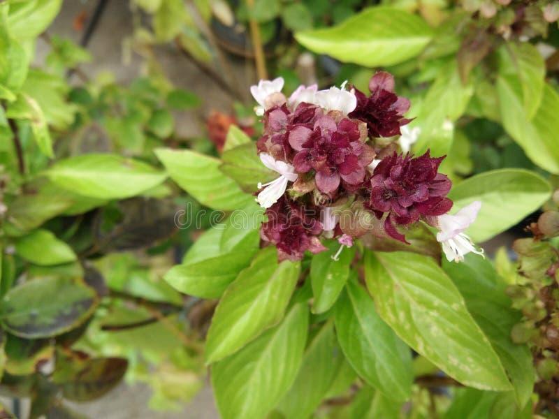 El ramo de la flor del flor en las hojas verdes borrosas de la albahaca dulce, albahaca tailandesa, puso la hoja en la comida tai fotos de archivo libres de regalías