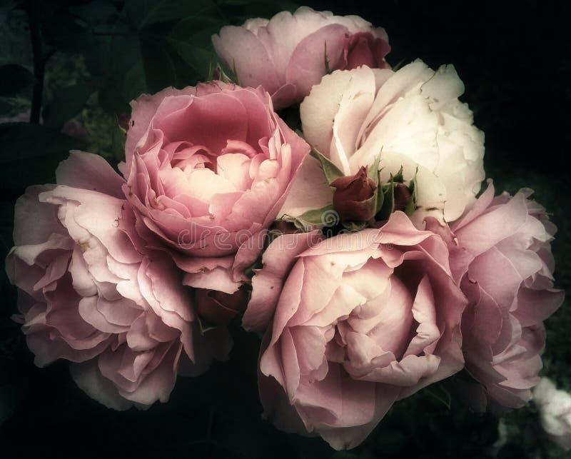 El ramo de rosa del rosa florece en un fondo oscuro imagen de archivo