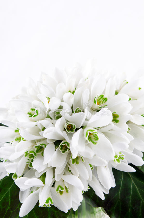 El ramo de Snowdrop, la primavera blanca florece en fondo ligero Copie el espacio foto de archivo