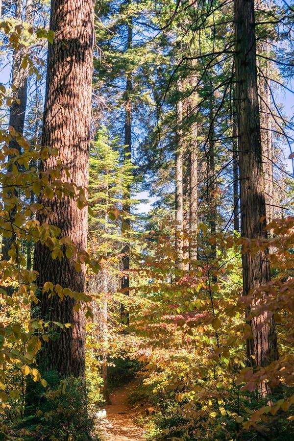 El rastro se alineó con el cornejo colorido, parque de estado grande de los árboles de Calaveras, California fotografía de archivo