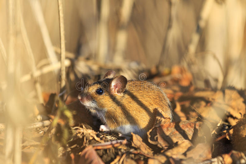 El ratón de campo se sienta entre hierba seca y hojas caidas fotografía de archivo