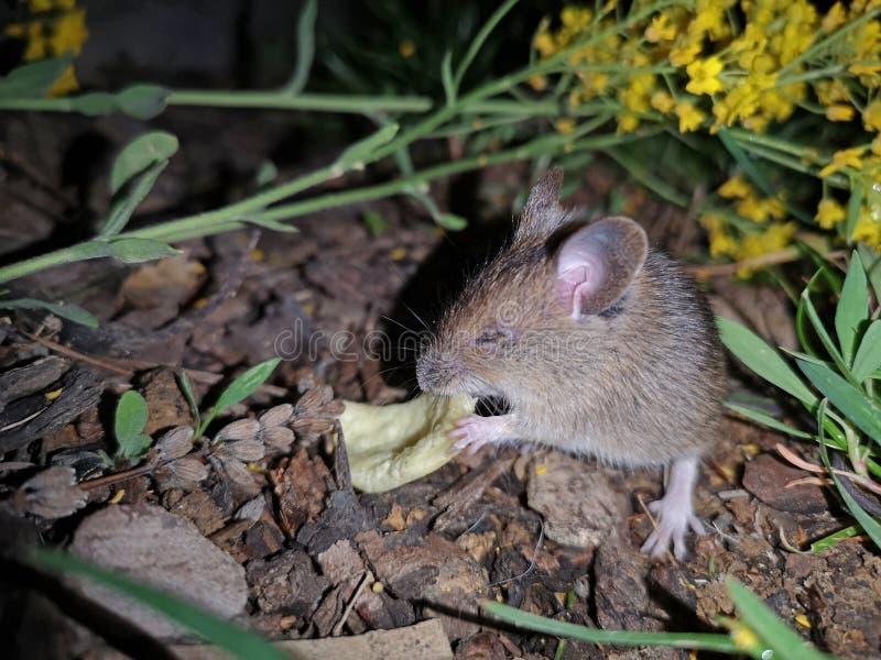 El ratón del campañol del campo come microprocesadores en la oscuridad fotos de archivo libres de regalías