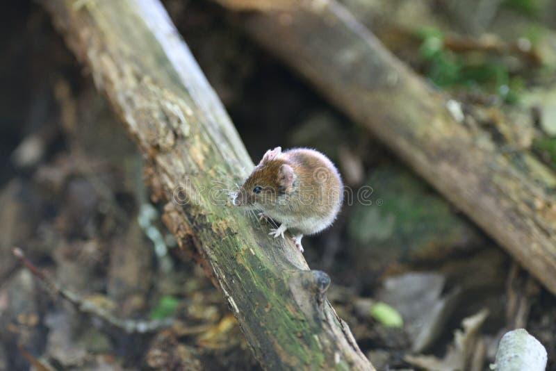El ratón gris se arrastra fuera de la madriguera de la tierra en el bosque imagen de archivo libre de regalías
