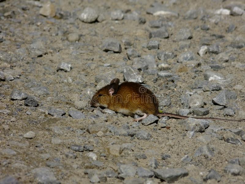 El ratón, un pequeño roedor, la trayectoria foto de archivo libre de regalías