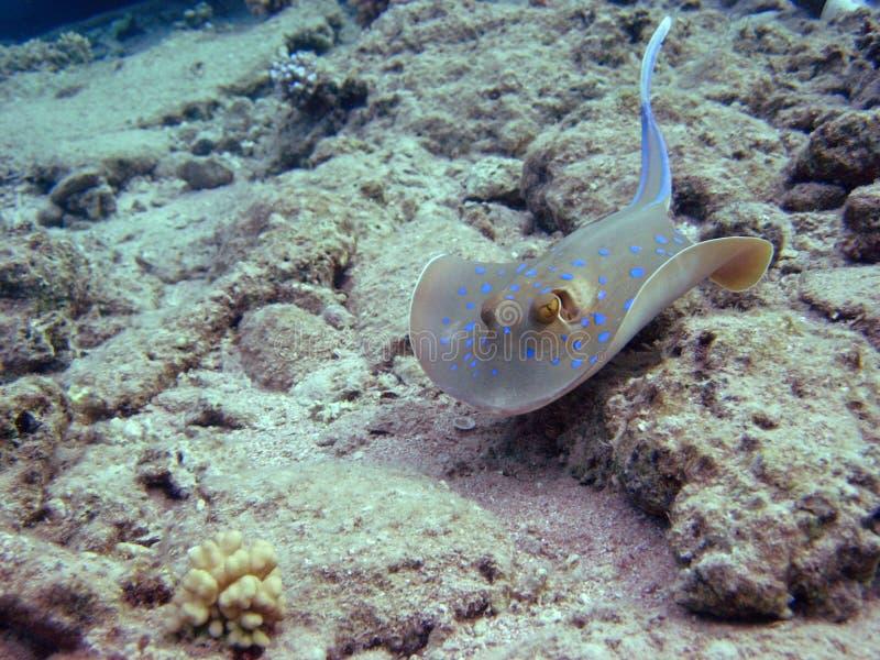 El rayo manchado azul joven de la laguna. fotos de archivo