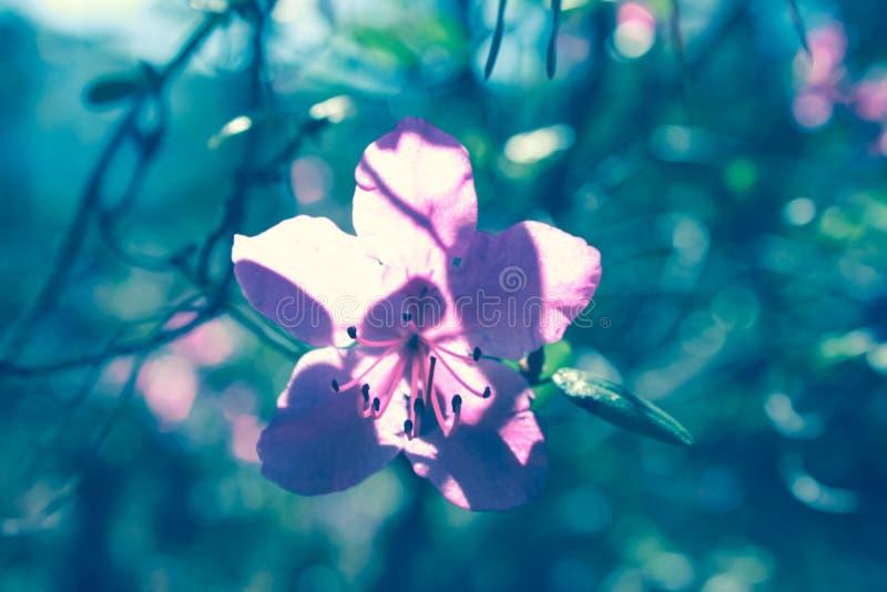El ?rbol floreciente florece en la estaci?n de primavera rosada de la belleza de la naturaleza Paisaje de la flor de la primavera fotografía de archivo libre de regalías