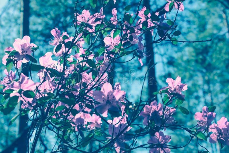 El ?rbol floreciente florece en la estaci?n de primavera rosada de la belleza de la naturaleza Paisaje de la flor de la primavera fotografía de archivo