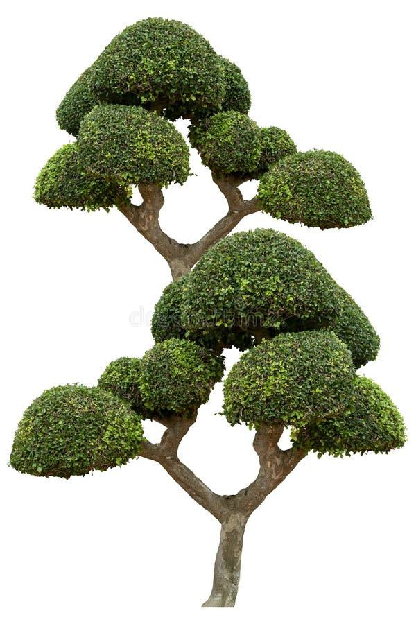 El ?rbol ornamental hermoso, ?rbol verde del topiary, verde sale de la planta ornamental, bonsai grande, conveniente para el uso  foto de archivo