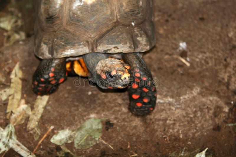 El recorrer de la tortuga fotos de archivo libres de regalías