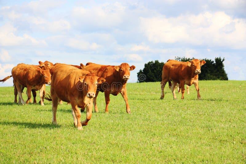 El recorrer del ganado de Lemosín foto de archivo libre de regalías