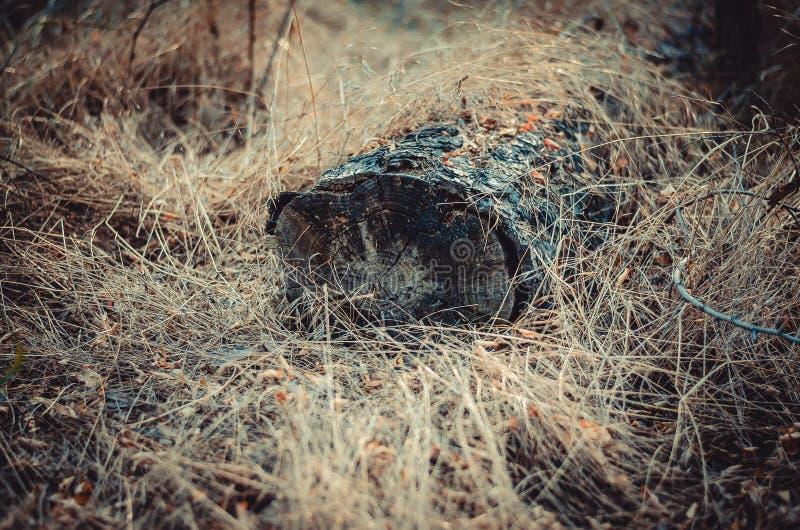 El registro quemó en un fuego cubierto con la hierba seca amarilla Tiroteo en el nivel del suelo Foco suave imágenes de archivo libres de regalías