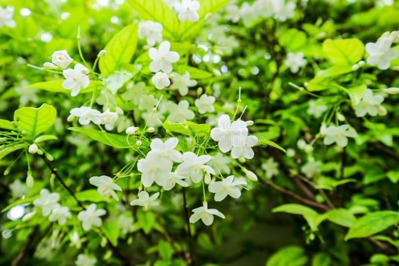 El religiosa de Wrightia es una especie de árbol en el Apocynaceae de la familia fotos de archivo libres de regalías