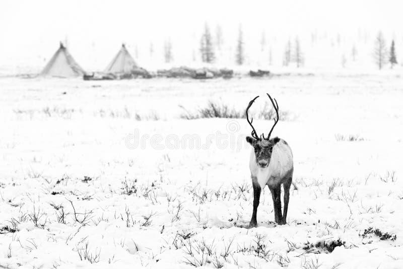 El reno pasta en la tundra imagen de archivo libre de regalías