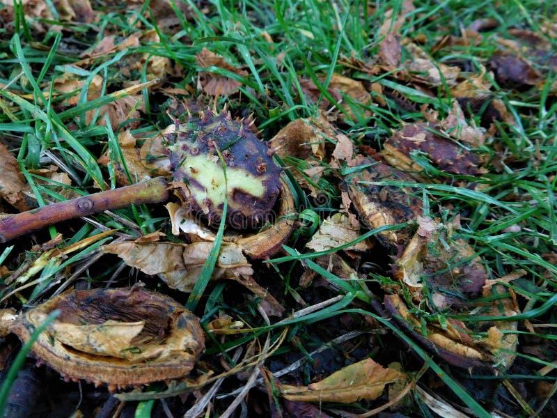 El residuo de la castaña en hierba con las hojas fotografía de archivo