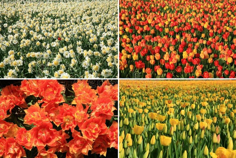 El resorte florece el collage. País holandés. imagen de archivo libre de regalías