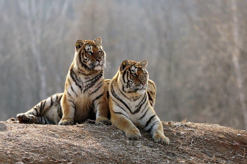 El resto del varón y de los tigres femeninos de amur imágenes de archivo libres de regalías