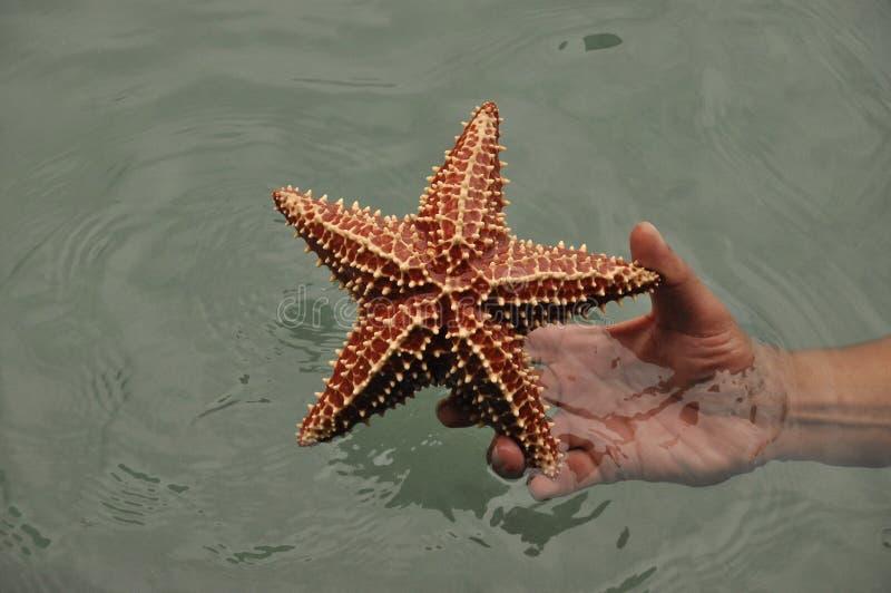 El reticulatus de Oreaster de las estrellas de mar se sostuvo a disposición, cogido en el del Toro de Bocas en el Caribe en Panam fotografía de archivo