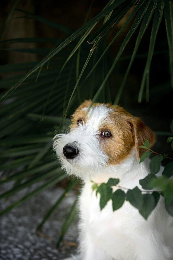 El retrato amaizing el perrito fresco de Jack Russell Terrier se sienta en geen el parque foto de archivo libre de regalías