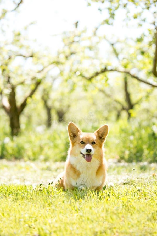 El retrato de Amaizing del perro fresco del corgi se sienta en el parque soleado imagen de archivo