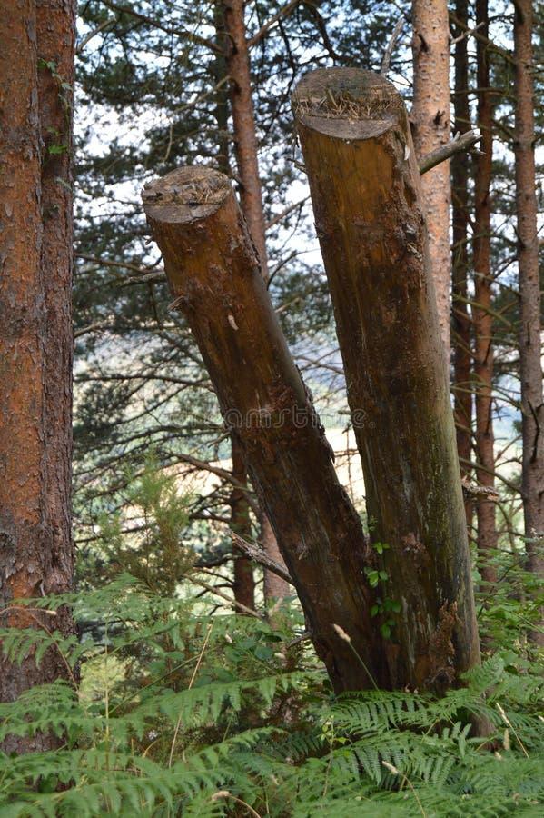 El retrato de dos cortó troncos los prados de Valleys Pine Forests de la cerca de Galicia de las montañas y los bosques del eucal imagenes de archivo