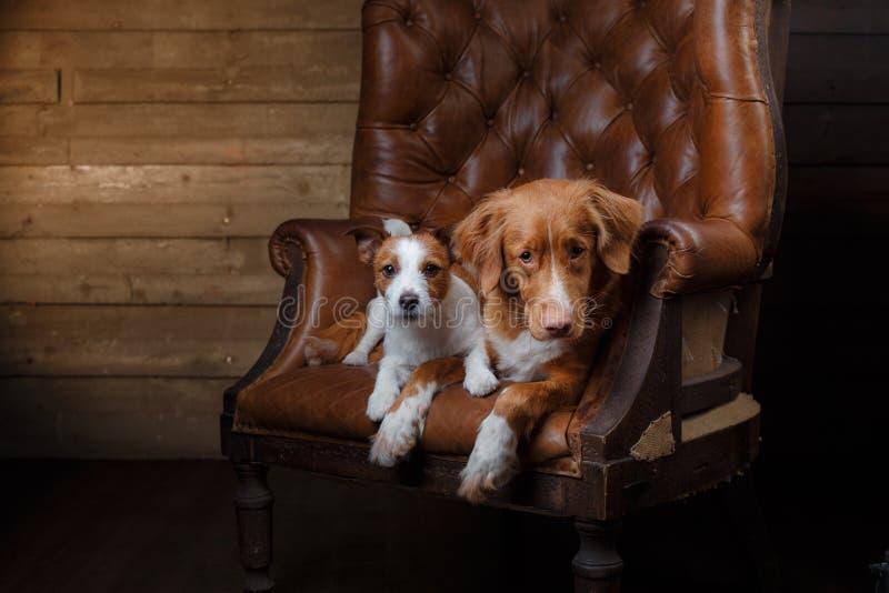 El retrato de los perros Jack Russell Terrier y de Nova Scotia Duck Tolling Retriever en un estudio colorea el fondo foto de archivo