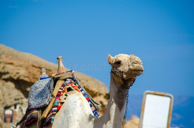 El retrato de un camello con el espacio en blanco firma en Egipto Dahab Sinaí del sur imagen de archivo
