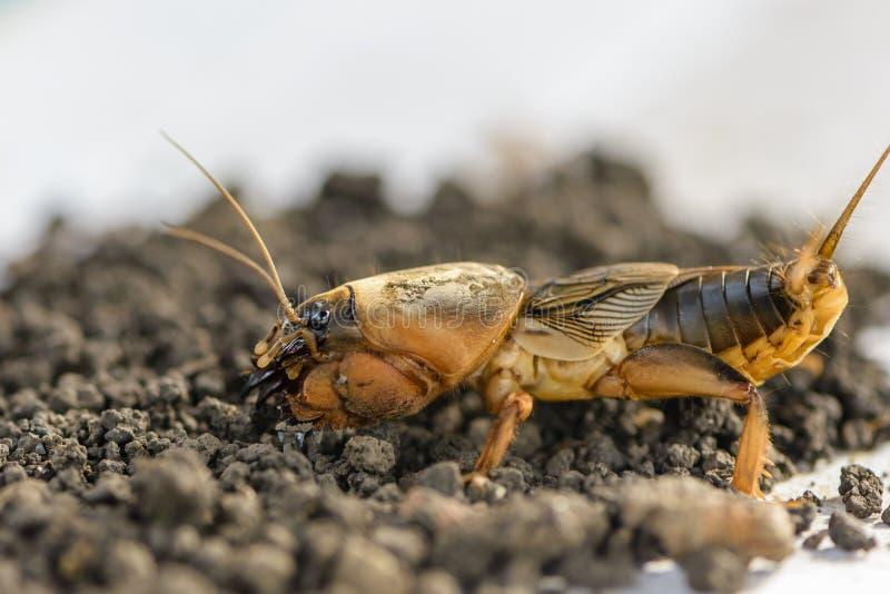El retrato de un insecto grande que vive en la tierra - gryllotalpa fotografía de archivo libre de regalías