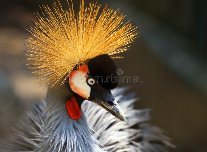 Retrato de un pájaro coronado hermoso de la grúa imagen de archivo