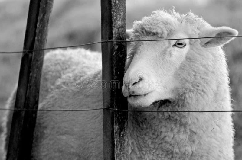 El retrato de una oveja se coloca detrás de una cerca de una granja de las ovejas foto de archivo libre de regalías
