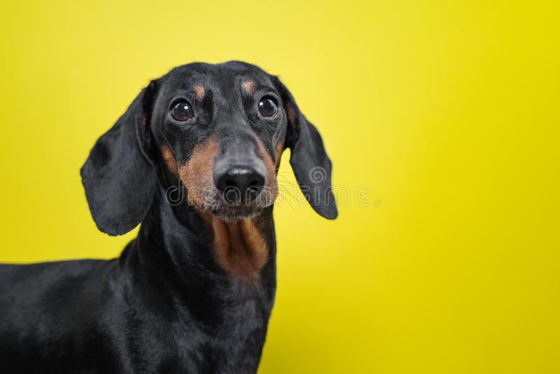 El retrato de una raza del perro del perro basset, se ennegrece y broncea, en un fondo amarillo Fondo para su texto y diseño conc imágenes de archivo libres de regalías