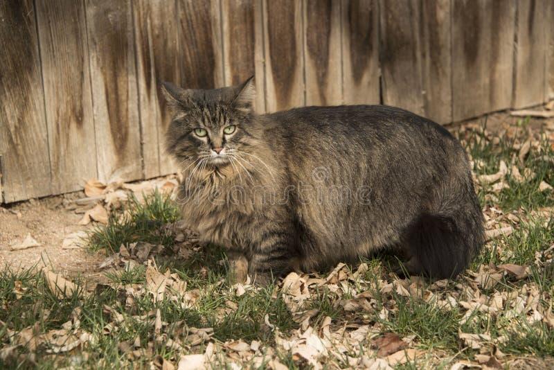 El retrato del gato de gato atigrado en patio trasero herboso con caída se va imágenes de archivo libres de regalías