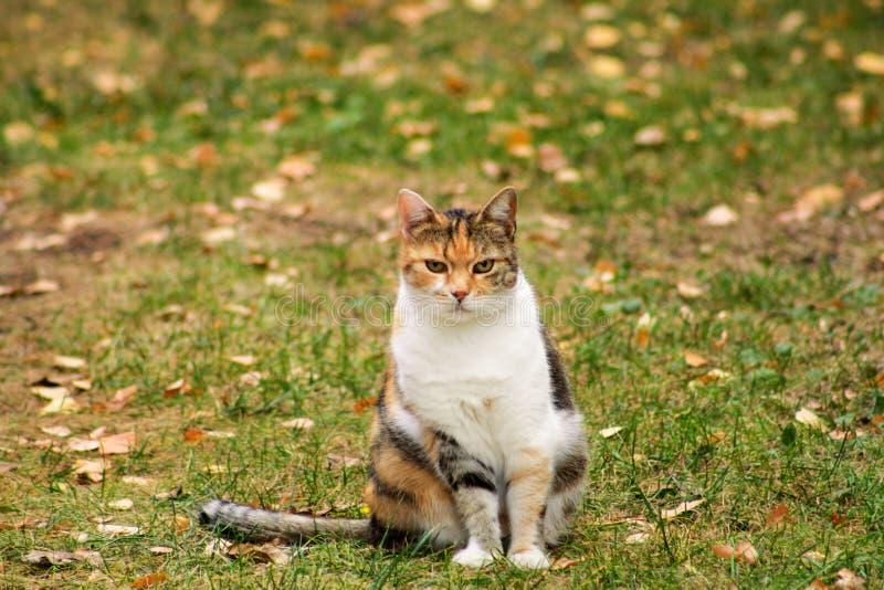 El retrato del gato nacional adorable en jardín, goza en sol de la tarde y el ambiente natural hermoso Otoño, hojas en hierba imagen de archivo