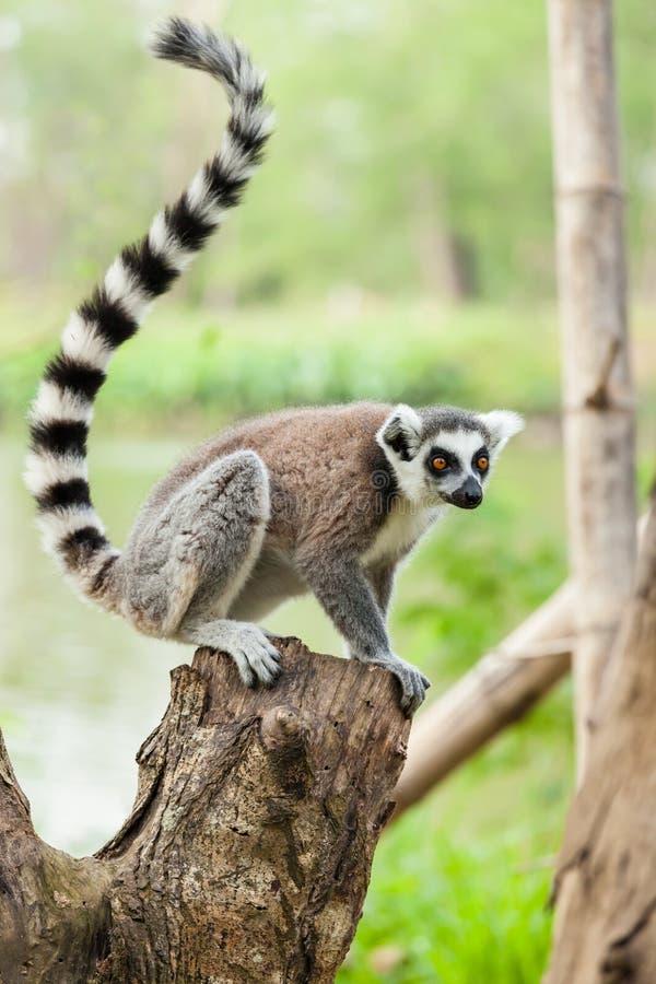 El retrato del Lemur imagen de archivo libre de regalías