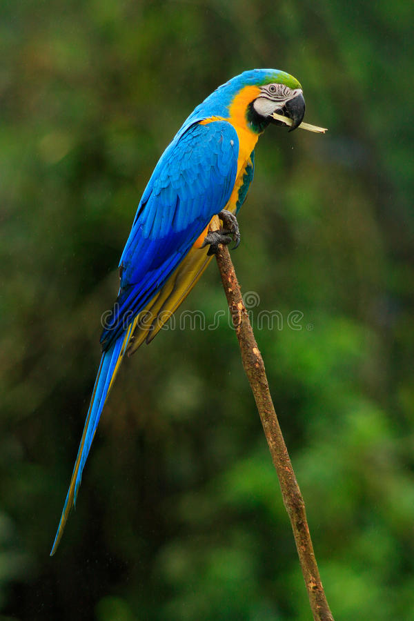 El retrato del macaw azul-y-amarillo, ararauna del Ara, también conocido como el macaw del azul-y-oro, es un loro suramericano gr fotografía de archivo libre de regalías