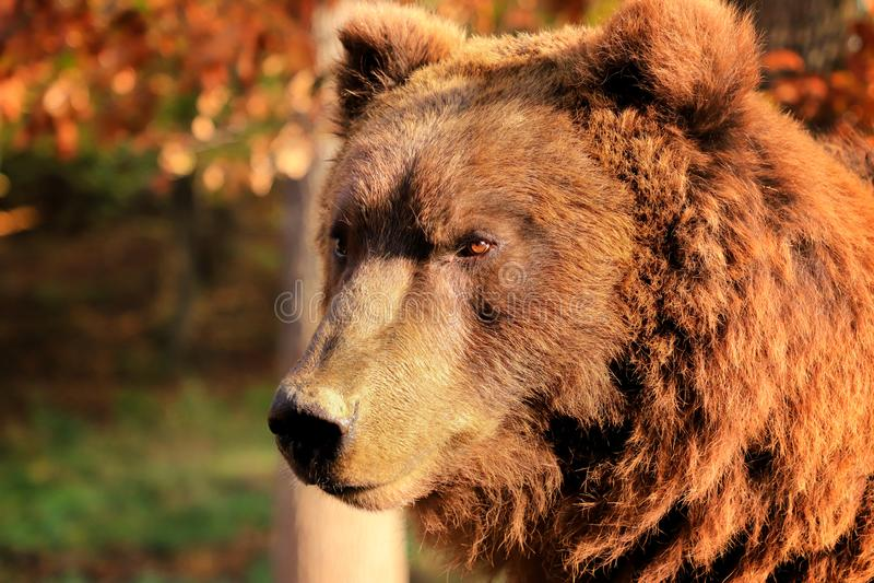 El retrato del oso en el bosque La cabeza de un oso marrón El mundo del oso Un omnívoro popular Foto del mundo animal Poste del o imagen de archivo